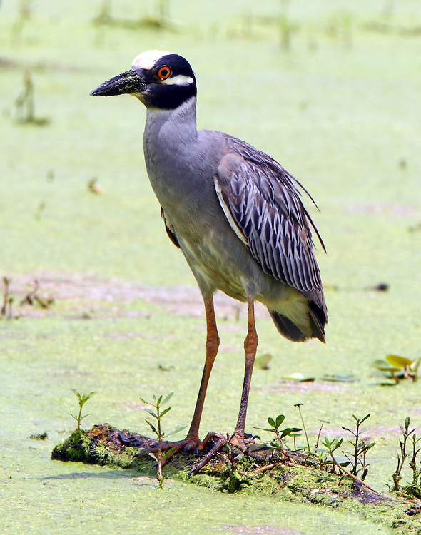 Adult yellow-crowned night-heron