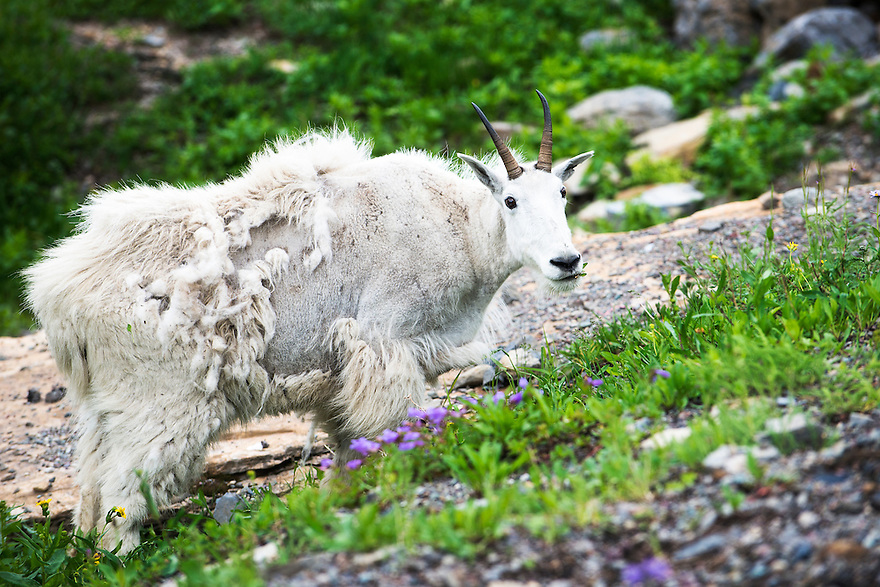A mountain goat grazes near Going-to-the-Sun Road in Glacier National Park.