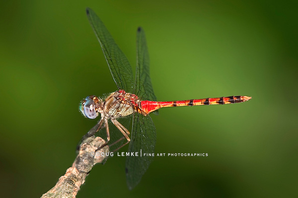 A Red Dragonfly On A Green Background, Probably a Type of Meadowhawk, Sympetrum, Family Libellulidae