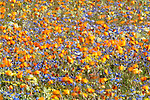 Annual spring wildlflowers blowing in wind, Western Cape, South Africa