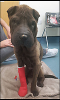 BNPS.co.uk (01202)558833<br /> Pic: Amber Whiting/BNPS<br /> <br /> Shadow after being rescued and treated for broken leg.<br /> <br /> A pet dog that was feared to have died when it fell off the top of 550ft cliff has miraculously been found alive after spending 45 days stuck on a ledge.<br /> <br /> Shadow, a Shar Pei, was discovered in an emaciated state having lost over half his body weight during the six weeks he was trapped on the seaside cliff near Eype, Dorset.