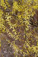 Silber-Weide, Silberweide, Weide, blühend, Blüte, Kätzhen, Weidenkätzchen, Salix alba, White Willow