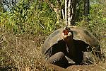 With its 250 kilos and its expectation of life of more than 150 years, the giant turtle is the uncontested &quot;star&quot; of the Galapagos<br /> Avec ses 250 kilos et son esp&eacute;rance de vie de plus de 150 ans, la tortue g&eacute;ante (Geochelone elephantophus) est la star  incontest&eacute;e des Galapagos, le symbole mythique de cet archipel surgi du Pacifique il y a seulement cinq millions d'annees.