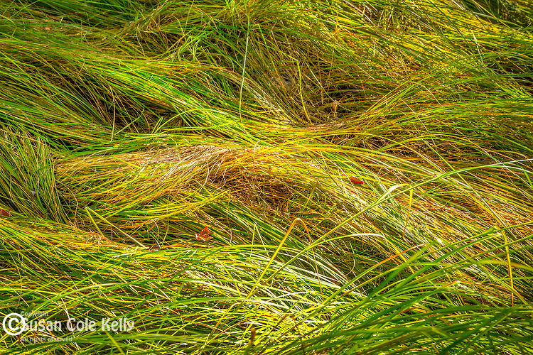 Sedges showing early autumn color on the Jessup Trail at Sieur de Monts in Acadia National Park, Maine, USA