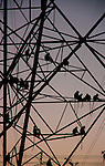 Hanuman Langurs on Electricity Pylon at Dusk, Udaipur