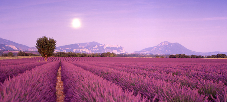 Europe, FRA, France, Provence, Valensole, Typical Landscape, Moonrise, Field of Lavender, Lavandula angustifolia, latifolia, hybrida (= intermedia)....[ For each utilisation of my images my General Terms and Conditions are mandatory. Usage only against use message and proof. Download of my General Terms and Conditions under http://www.image-box.com or ask for sending. A clearance before usage is necessary...Material is subject to royalties. Each utilisation of my images is subject to a fee in accordance to the present valid MFM-List...Contact | archive@image-box.com | www.image-box.com ]