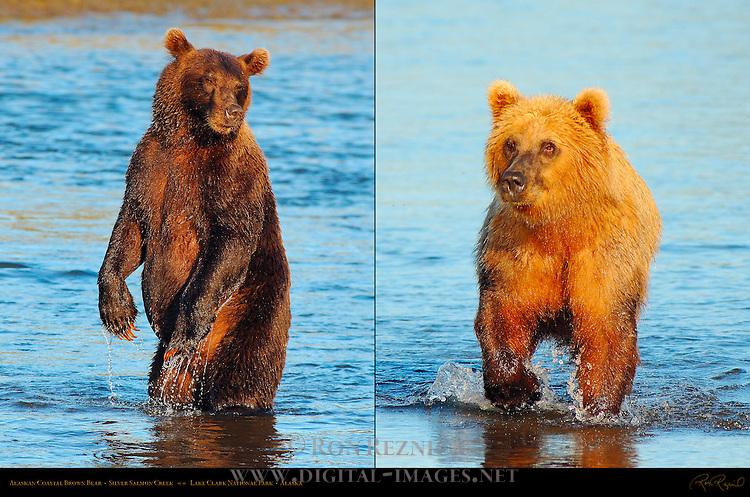 Alaskan Coastal Brown Bear, Male Standing and Golden Female at Sunset, Silver Salmon Creek, Lake Clark National Park, Alaska
