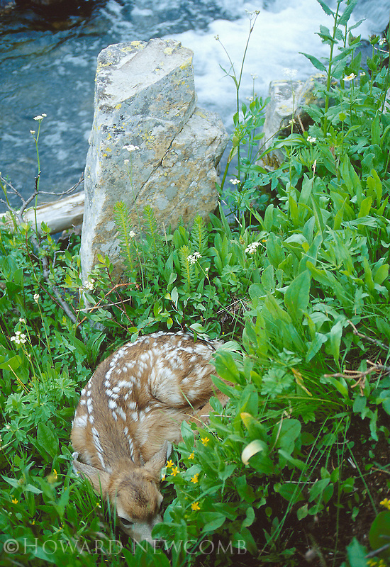 A fawn rests peacefully by a high alpine stream in Democrat Basin, Colorado
