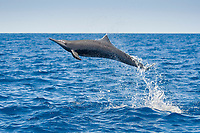 Central American Spinner Dolphin, Stenella longirostris centroamericana, spinning high in the air, Costa Rica, Pacific Ocean