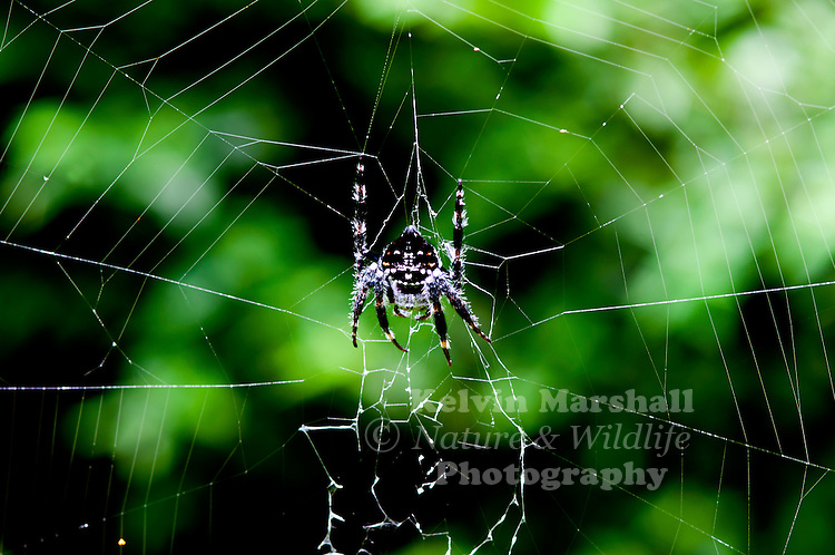Darwin's bark spider (Caerostris darwini) is an orb-weaver spider that produces one of the largest known orb webs, web size ranged from 900–2800 cm2, with anchor lines spanning up to 25 metres (82 ft). The spider was discovered in Madagascar in the Andasibe-Mantadia National Park in 2009. The species was named in honour of the naturalist Charles Darwin. Andasibe-Mantadia National Park, Eastern Madagascar.