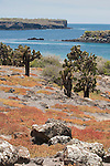 South Plazas Island, Galapagos, Ecuador; looking down from the top of South Plazas Island past Prickly Pear Cactus (Opuntia Cactaceae) and orange colored, ground covering succulents towards the water and North Plazas Island , Copyright © Matthew Meier, matthewmeierphoto.com All Rights Reserved