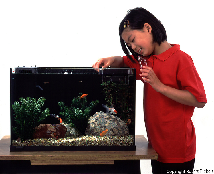 Young Girl, aged 12 years old, looking at goldfish in cold water fish tank, with nursery tank floating inside, studio, cut out, white background