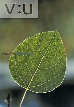 Quaking Aspen leaf (Populus tremuloides), North America.