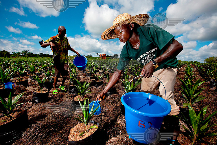 Workers water young palm oil plants in potentially the biggest palm oil plantation in Africa which is owned by Canadian company Feronia.