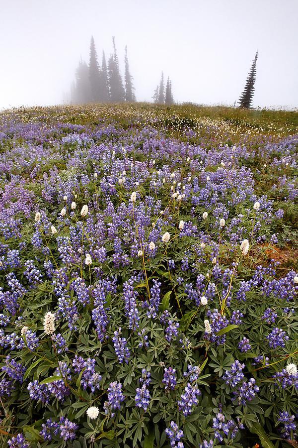 Field of lupine in fog, Edith Creek Basin, Paradise, Mount Rainier National Park, Washington, USA