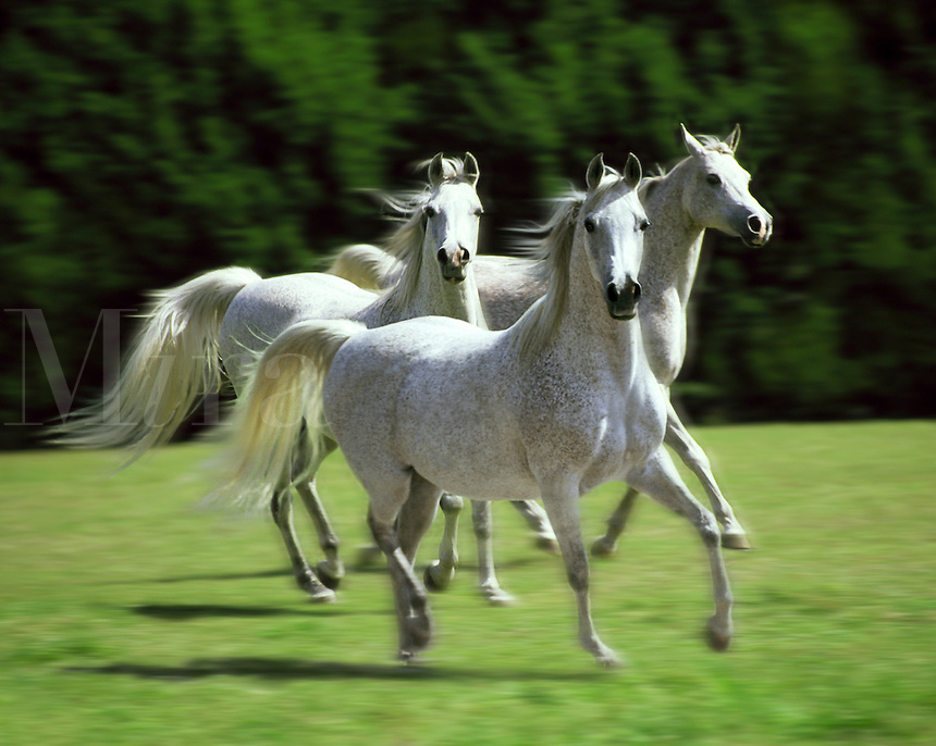 Trio of Arabian mares.