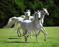 Trio of Arabian mares.