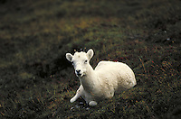 Dall sheep lamb lying down. Alaska USA Denali National Park.