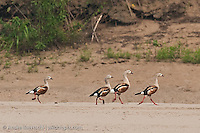 Orinoco Geese (Neochen jubata), walking along a riverbank in lowland tropical rainforest, Manu National Park, Madre de Dios, Peru.