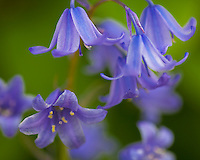 Vashon, WA<br /> Spanish Bluebell (Hyacinthoides hispanica) blossoms in spring
