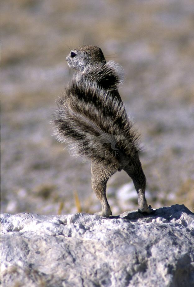 Kaapse grondeekhoorn (Xerus inauris)