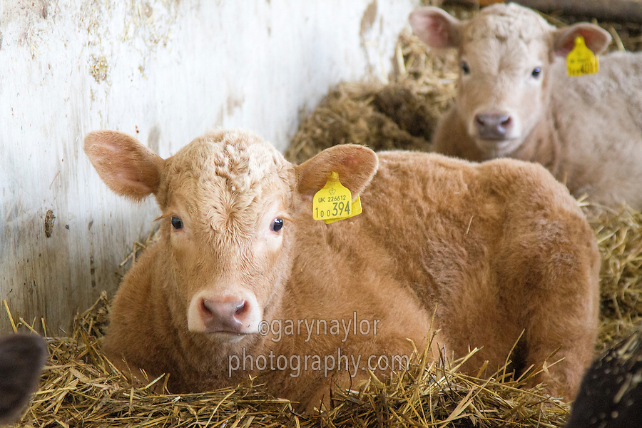 Young calf in straw yard - Norfolk, March