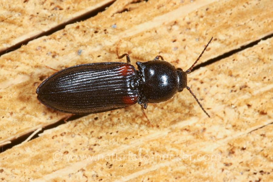 Schnellkäfer, Calambus bipustulatus, click beetle, Schnellkäfer, Elateridae, Click beetles