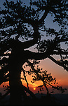 Black pine at sunset in   the western Troodos hinterland.