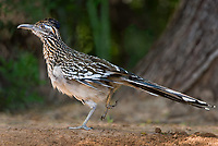 576010024 a wild adult greater roadrunner geococcyx californianus preens and wing stretches by a pond in the rio grande valley of south texas