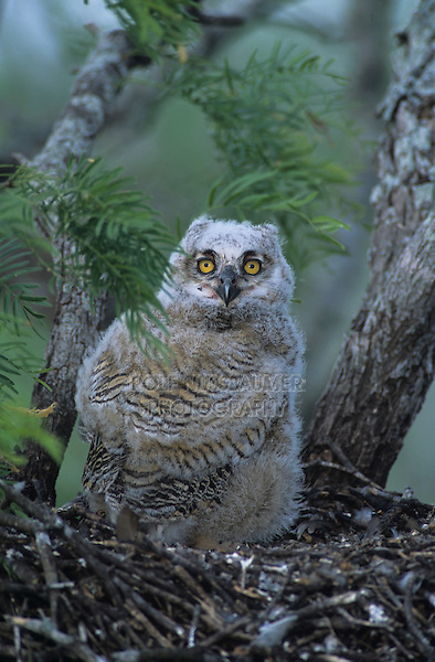 Great Horned Owl, Bubo virginianus, young in nest in mesquite tree, Willacy County, Rio Grande Valley, Texas, USA, May 2004