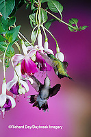 01162-06918  Ruby-throated Hummingbird (Archilochus colubris) female & male at Hybrid Fuchsia (Fuchsia)  Shelby Co.  IL