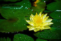 A beautiful yellow water lily.