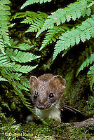 MA28-092z  Short-Tailed Weasel - ermine in brown summer coat in forest - Mustela erminea