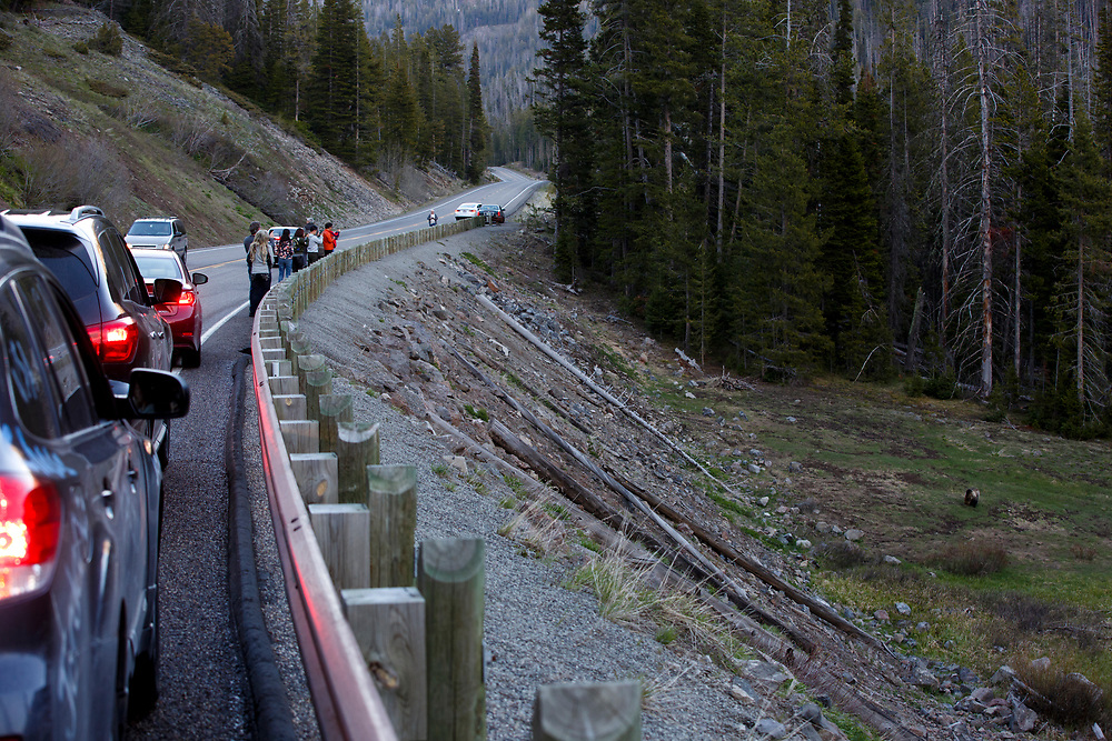 Tourists stop along the East Entrance Road to photograph a grizzly bear below the road in Yellowstone National Park, Wyoming on Monday, May 22, 2017. (Photo by James Brosher)
