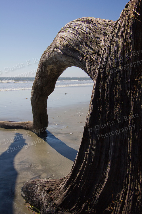 Old Tree Drift Wood on Folly Beach SC