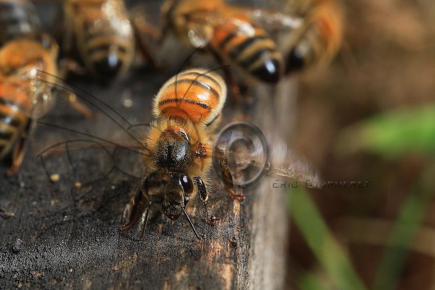 Lors de grandes chaleurs ou après une récolte abondante de nectar, les abeilles battent des ailes afin de renouveler l'atmosphère de la ruche. La ventilation est aussi au coeur de l'élaboration du miel. Les butineuses régurgitent le nectar récolté sur les fleurs dans la bouche d'autres ouvrières qui le stockent dans les cellules. Ce nectar, qui contient 50 % d'humidité, est mélangé aux sécrétions des abeilles puis peu à peu déshydraté par le courant d'air produit par les ventileuses. Il devient du miel lorsque son taux d'humidité redescend à 17 %.