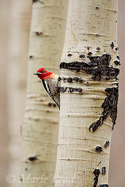 Red-breasted Sapsucker (Sphyrapicus ruber), clinging to aspen trunk, Mono Lake Basin, California, USA
