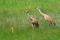 Doting parents keep a watchful eye for danger as this Sandhill Crane colt explores a new world.  Summit County, Utah.