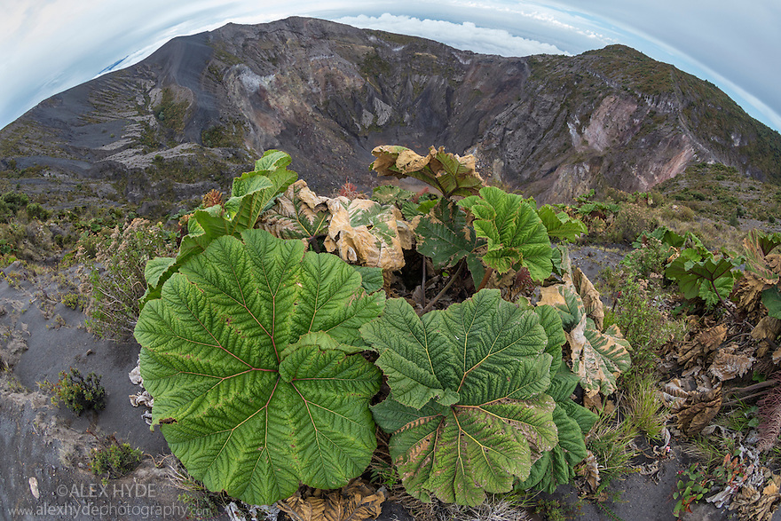 Poor Man's Umbrella (Gunnera insignis) growing around the caldera rim of Volcano Irazu, Costa Rica. May.