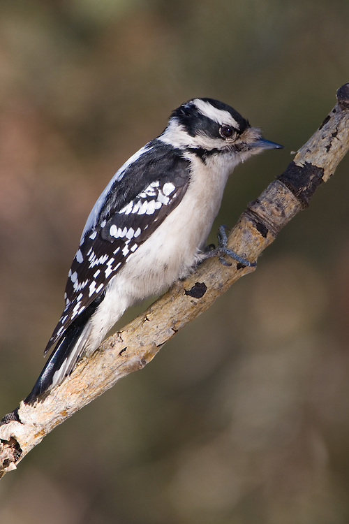 Downey woodpecker perched on an a branch