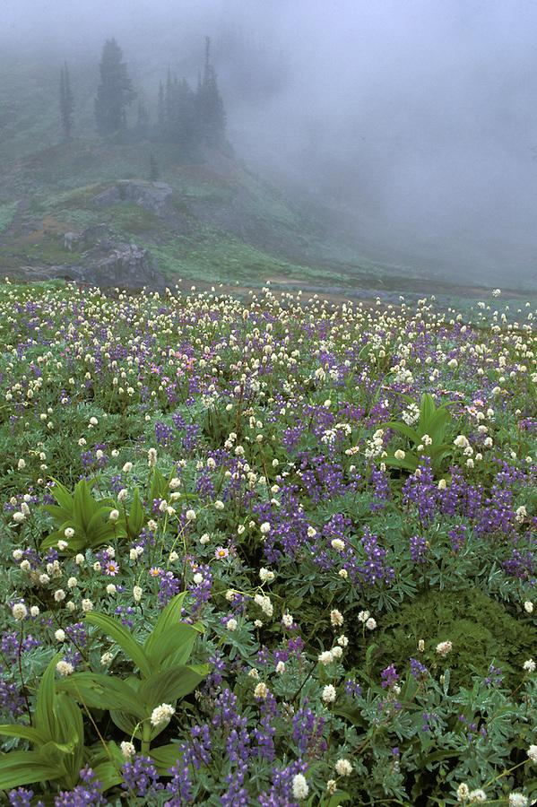 Subalpine wildflower meadow, Edith Creek Basin, Paradise, Mount Rainier National Park, Cascade Mountains, Washington