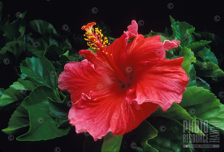 Red hibiscus bush flower (malvaceae), often used in island landscaping