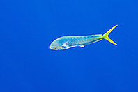 free-swimming mahi mahi, common dolphinfish or dorado, Coryphaena hippurus, cow, off Kona Coast, Big Island, Hawaii, Pacific Ocean