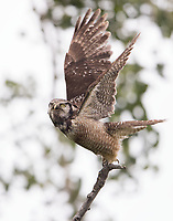 A Northern Hawk Owl takes flight to evade mobbing songbirds.