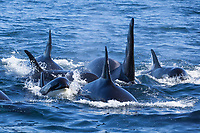 High energy of Orca pod, Johnstone Strait, British Columbia.