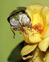 Superb Green Cicada & a yellow rose..