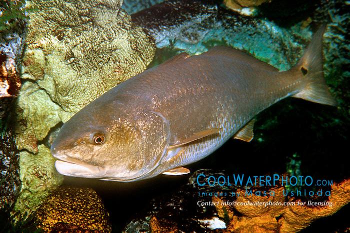 """red drum or """"redfish"""" (c), .Sciaenops ocellatus, .Islamorada, Florida (Atlantic)."""