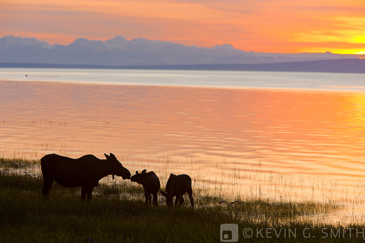 Mama moose and two calfs feeding along the Tony Knowles Coastal Trail at sunset, late summer, Anchorage, Southcentral Alaska, USA.