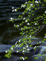 Yosemite National Park, Ca<br /> Dogwood (Cornus florida) branches hang over flowing water of the Merced River in Yosemite Valley