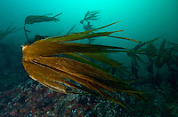 Kelp, Laminaria hyperborea.Atlantic marine life, Saltstraumen, Bodö, Norway